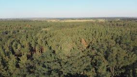 Bosque del pino, visión aérea con el abejón Visión superior en parque de madera de pino almacen de metraje de vídeo