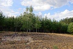 Bosque del pino y abedules al borde de un bosque contra el cielo Fotos de archivo