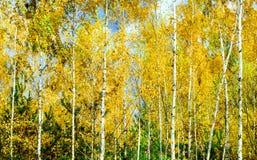 Bosque del pino y del abedul en la estación del otoño Fotos de archivo libres de regalías