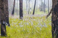 Bosque del pino y patio de la flor en Phu Soi Dao National Park, Tailandia fotos de archivo libres de regalías