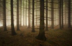 Bosque del árbol de pino Imagenes de archivo