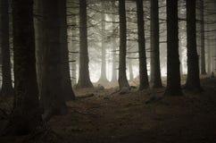 Bosque del árbol de pino con niebla Fotografía de archivo