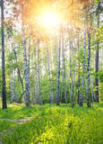 Bosque del resorte Foto de archivo libre de regalías