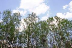 Bosque del ` s del abedul Foto de archivo