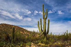 Bosque del Saguaro Fotos de archivo