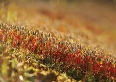 Bosque del sporophyte del musgo imagen de archivo libre de regalías