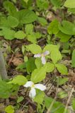 Bosque 6 del Trillium imagenes de archivo