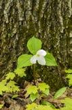 Bosque 12 del Trillium foto de archivo