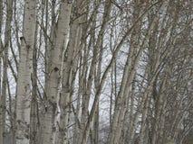 Bosque del tronco de árbol de abedul en fondo natural cambiante del día de invierno Imágenes de archivo libres de regalías