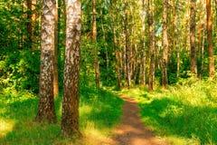 Bosque del verano con los abedules Foto de archivo