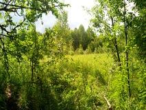 Bosque del verano en el conjunto de verdor y de belleza Foto de archivo libre de regalías