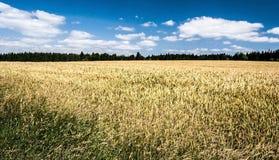 Bosque del wirh del campo de maíz del verano en el fondo y cielo azul agradable con pocas nubes Imagen de archivo libre de regalías