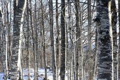 Bosque denso con los árboles de abedul en la montaña nevada Fotos de archivo