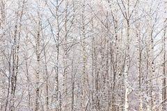 Bosque denso del abedul de la textura Fotografía de archivo