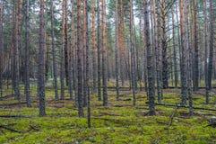 Bosque denso del pino Imagenes de archivo