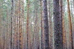 Bosque denso del pino Foto de archivo libre de regalías