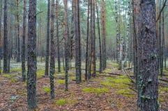 Bosque denso del pino Imágenes de archivo libres de regalías