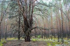 Bosque denso del pino Fotos de archivo