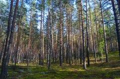 Bosque denso del pino Imagen de archivo libre de regalías