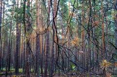Bosque denso del pino fotografía de archivo libre de regalías