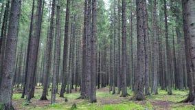 Bosque denso del pino con la porción de árboles almacen de metraje de vídeo
