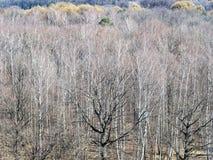 Bosque desencapado do carvalho na floresta na mola imagem de stock royalty free