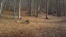 Bosque deshojado del árbol de haya almacen de video
