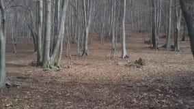 Bosque deshojado del árbol de haya metrajes