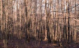 Bosque desnudo brillante del invierno en luz del sol Imagenes de archivo