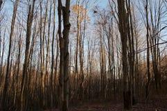 Bosque desnudo del invierno con la luz de descoloramiento Fotografía de archivo
