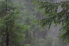 Bosque después de la lluvia Ramas spruce verdes con gotas de lluvia Fotos de archivo libres de regalías