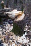 Bosque después del trabajo del castor Fotografía de archivo