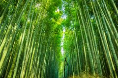 Bosque do bambu de Arashiyama fotografia de stock