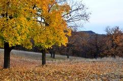 Bosque do carvalho do bordo do outono fotografia de stock royalty free