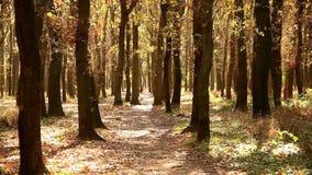 Bosque do carvalho na luz solar do outono filme