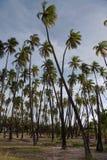 Bosque do coco de Kapuaiwa fotos de stock royalty free