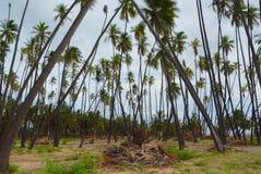 Bosque do coco de Kapuaiwa em Molokai fotos de stock