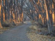 Bosque do Cottonwood da manhã foto de stock