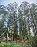 Bosque do eucalipto foto de stock