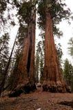 Bosque do general Grant Fotos de Stock Royalty Free