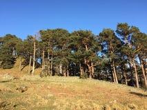 Bosque do pinheiro, banhado na tarde logo fotos de stock royalty free