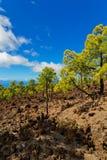 Bosque do pinho nas rochas foto de stock royalty free