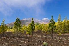 Bosque do pinho nas rochas imagem de stock royalty free