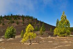 Bosque do pinho nas rochas imagens de stock royalty free
