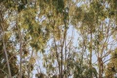 Bosque do verde do eucalipto na luz brilhante do alvorecer fotografia de stock
