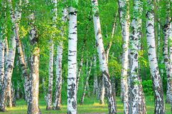 Bosque do vidoeiro imagem de stock royalty free