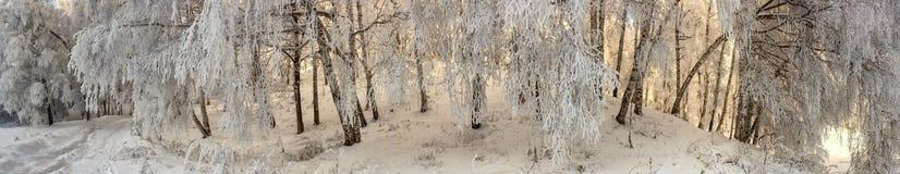 Bosque do vidoeiro fotos de stock