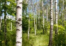 Bosque do vidoeiro Imagens de Stock Royalty Free