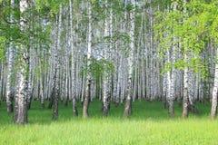 Bosque do vidoeiro Fotos de Stock Royalty Free