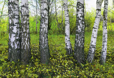 Bosque do vidoeiro fotografia de stock